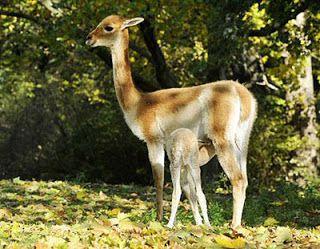 Vicunha: Diferenças entre a Alpaca, Lhama, Vicunha, Guanaco.