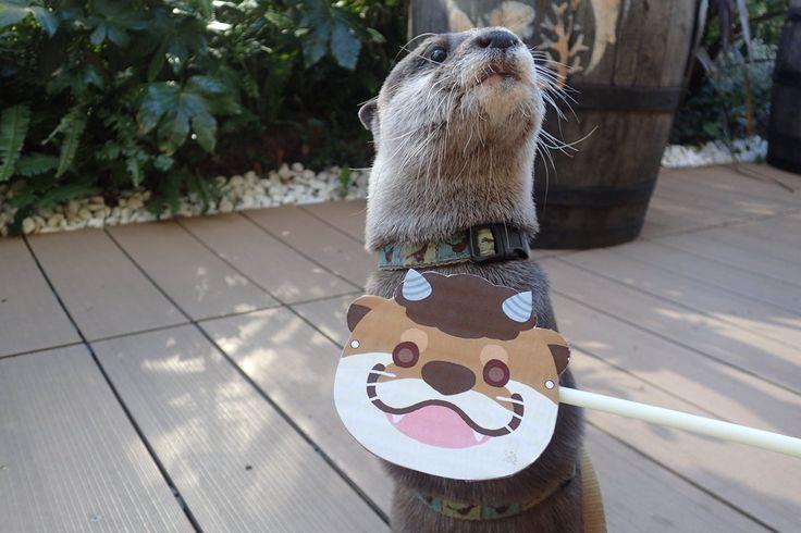 今日は #節分 ですね。皆さんは豆まきしましたか?やまとはお面を付けて節分を楽しんでいました! 本日もサンシャイン水族館で皆様のご来館をお待ちしております! #サンシャイン水族館 #コツメカワウソ #節分の日
