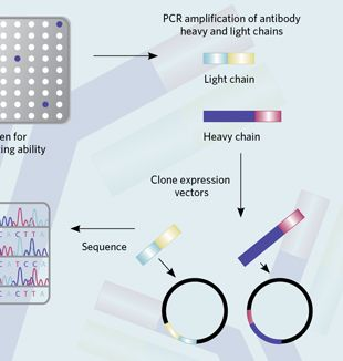 Accelerating Antibody Discovery   The Scientist Magazine®