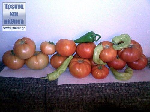 Καλλιέργεια ντομάτας - φωτογραφικός οδηγός ( 15 φωτογραφίες )