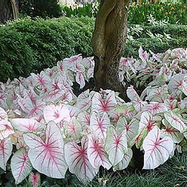 Caladium White Queen | White Caladium Bulbs Another fine choice for gardeners who want to add some excitement to landscape and garden areas below high trees, on
