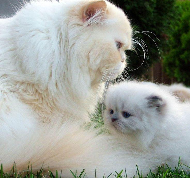 gatos persas 11 animais