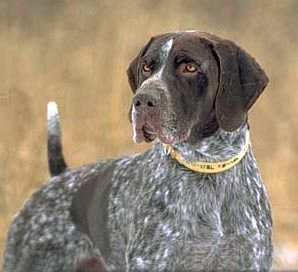 I think German Short-haired Pointers are beautiful.