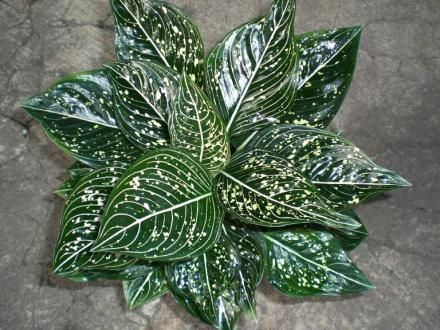 59 best Chinese Evergreen PlantsAglaonema images on Pinterest