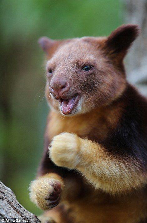 Nupela, the baby tree kangaroo, born at Taronga Zoo, Sydney, Australia. Goodfellow's Tree Kangaroos are native to Papua New Guinea, where they are endangered.