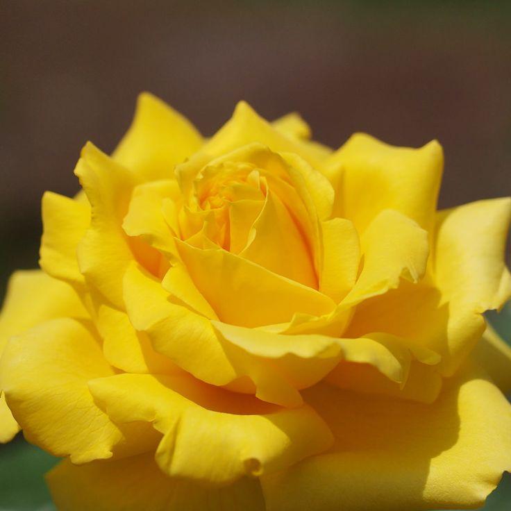Rose, Gina Lollobrigida, バラ, ジーナ ロロブリジーダ, Hybrid Tea rose ハイブリッドティーローズ France フランス Meilland 1989