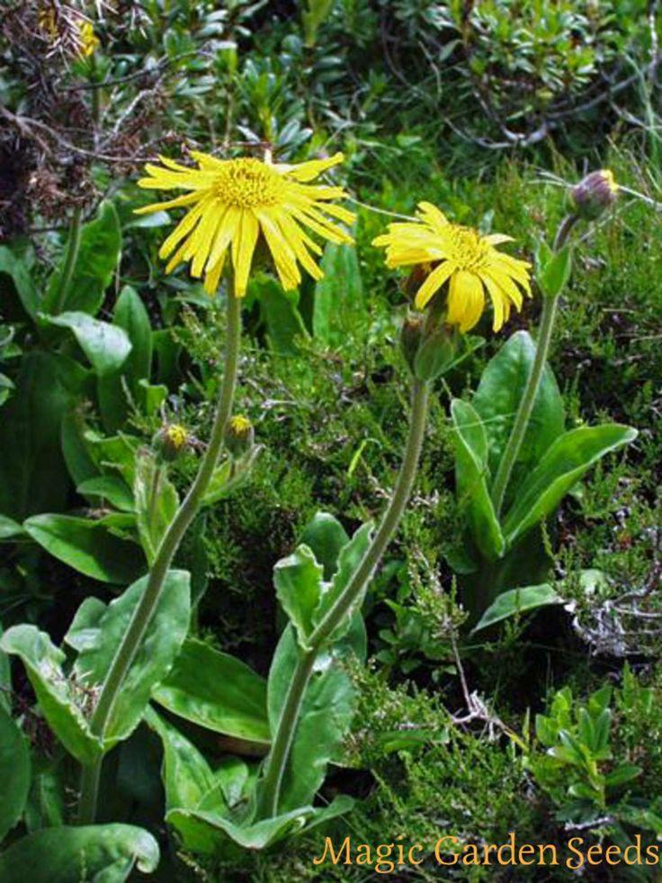 Mehrjährige Pflanzen: Die Echte Arnika ist ein bekanntes homöopathisches Heilmittel bei Muskelverletzungen. Mehr Infos zu Arnica montana und Samen für den eigenen Anbau jetzt online bei Magic Garden Seeds.
