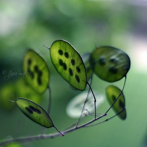 Seed pods of honesty.