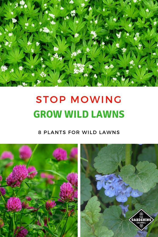 8 Plants For Wild Lawns That Do Not Require Mowing Plants Wildflower Garden Garden Landscaping