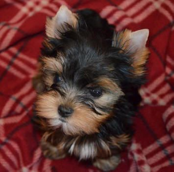 The first time I saw a yorkie puppy, I was about four years old. I still remember everything that happened. I was sitting in a train station, with my mom. A lady with a cute little puppy boarded the train with us. I played with the puppy for the whole 12 hour train ride. Today, I am 32 years old and I have four Yorkie puppies.