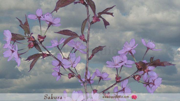 Timelapse of Opening Pink Sakura Tree Blossoms