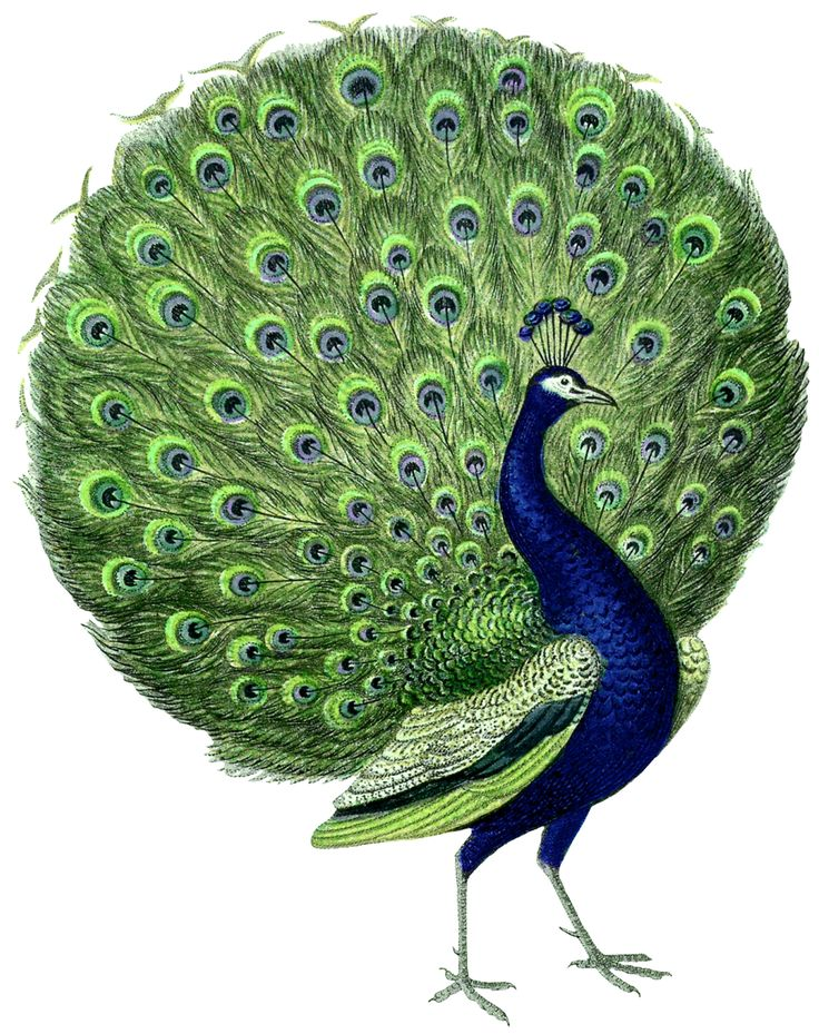 Here are a couple of gorgeous Vintage Peacock Images! I've been searching for a very long time to find a Peacock Image with the tail fanned out...