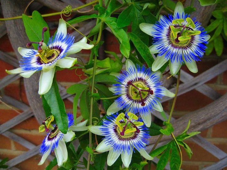 vatigan passion flower vine - Google Search