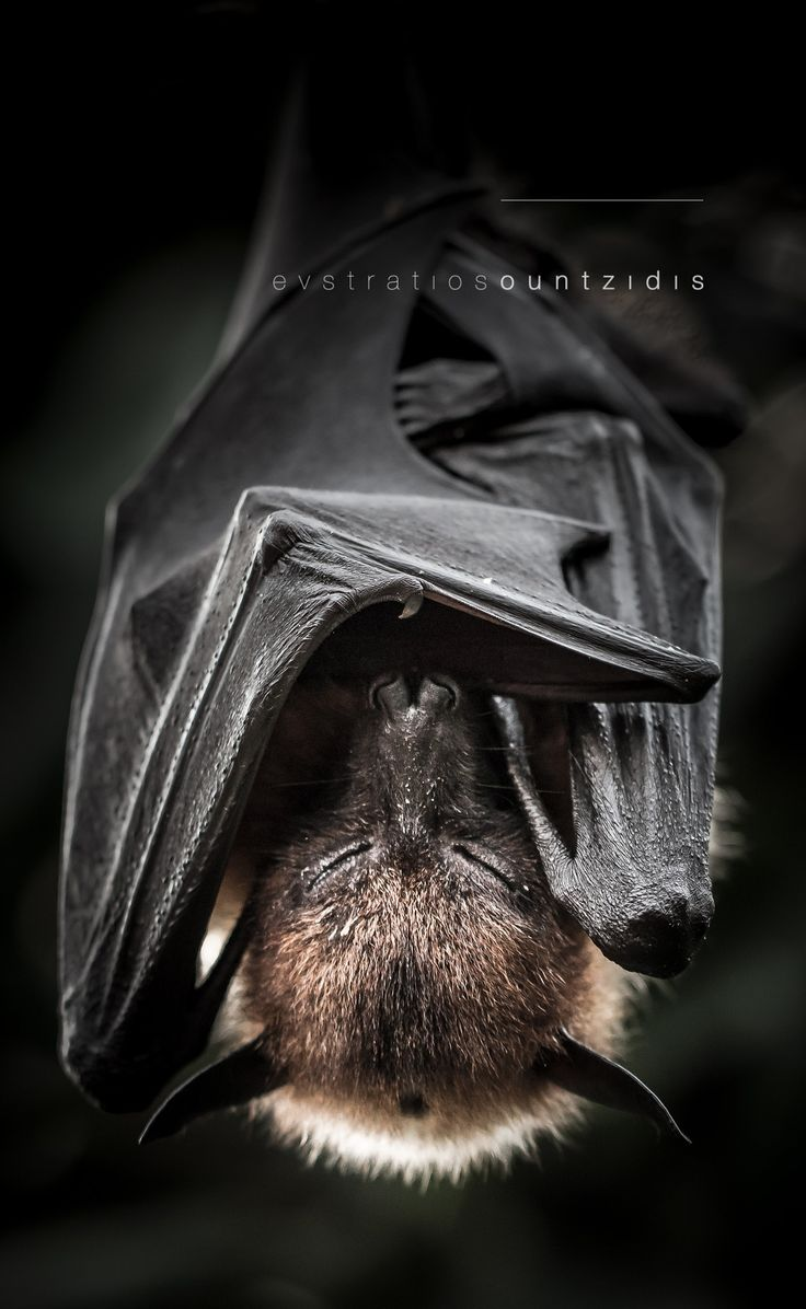 Flying Fox by Evstratios Ountzidis on 500px