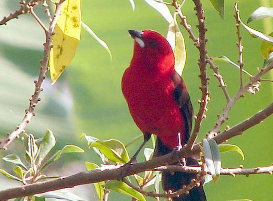 Litoral Norte-Região investe para se tornar rota de observação de aves  -tiê ubatuba