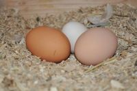 Where To Buy Chicks, Hatching Eggs, and Chickens - BackYard Chickens Community