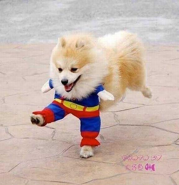 "Look...It's ""Superdog""!!! (9gaga.com) #pomeranian"
