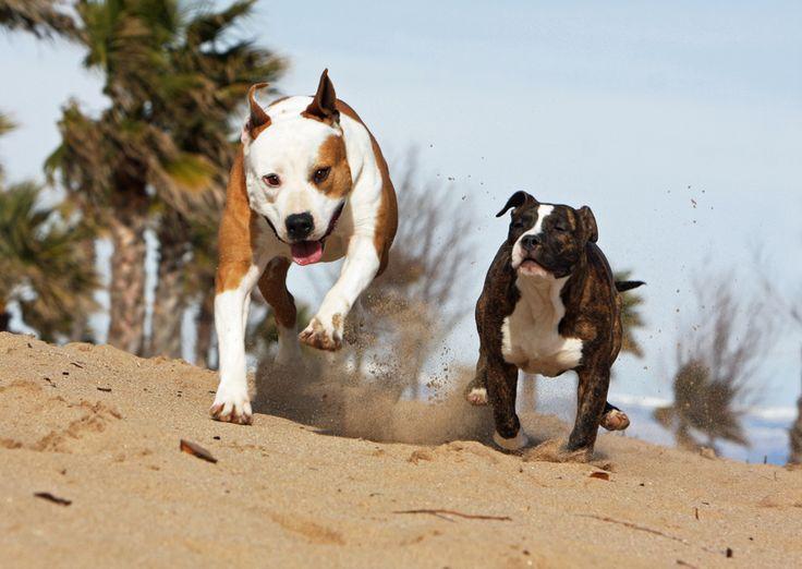 Assurance chien dangereux : garantie responsabilité civile chien ouverte à tous les chiens de catégories 1, 2 et 3, y compris Staffordshire terrier, American Staffordshire terrier, Rottweiler, Tosa et Mastiff.