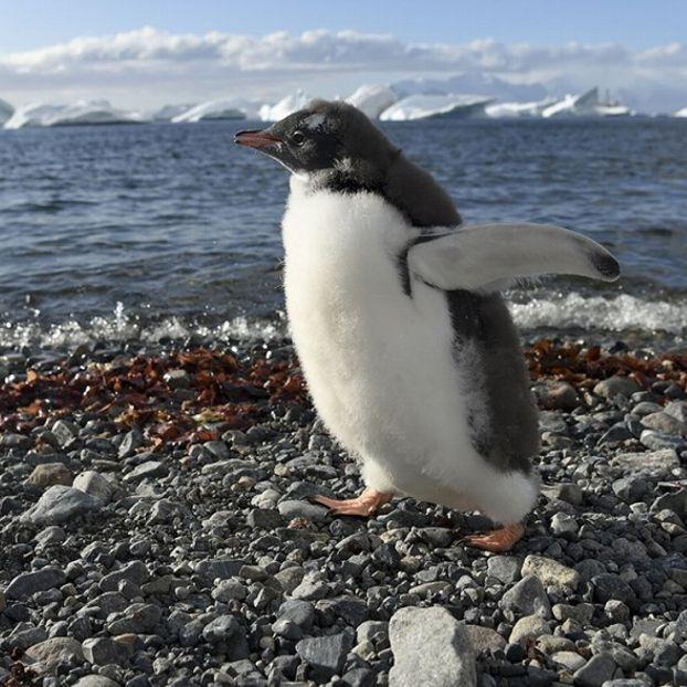 Un pinguino Papua (o pigoscelide comune) sull'isola di Cuverville, nella Penisola antartica