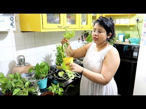 Mera MAGIC MASALA   How To Grow Money Plant Easily At Home   Indoor Plants Care … – GARDENING