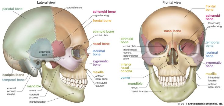 bones diagram human face tooth anatomy without labels (left) lateral and (right) frontal views of the skull. | body pinterest ...