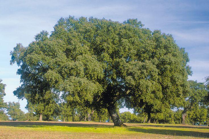 Árbol perennifolio: encina.