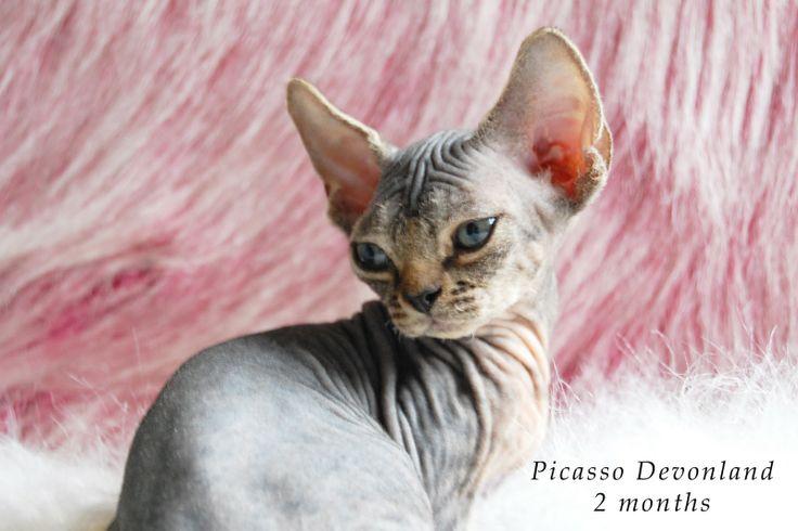 Питомник девон рексов DEVONLAND: Picasso Devonland - котенок девон-рекс, 2 мес.
