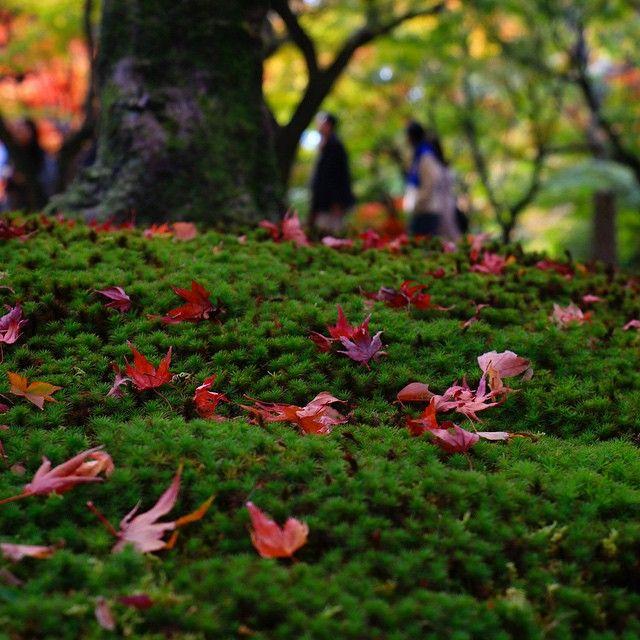 東福寺 - 紅葉と苔 #japan #kyoto #tofukuji #temple #garden #autumn #autumnleaves #momiji #maple #moss #beautiful #日本 #京都 #東福寺 #寺 #庭 #秋 #紅葉 #苔 #美しい