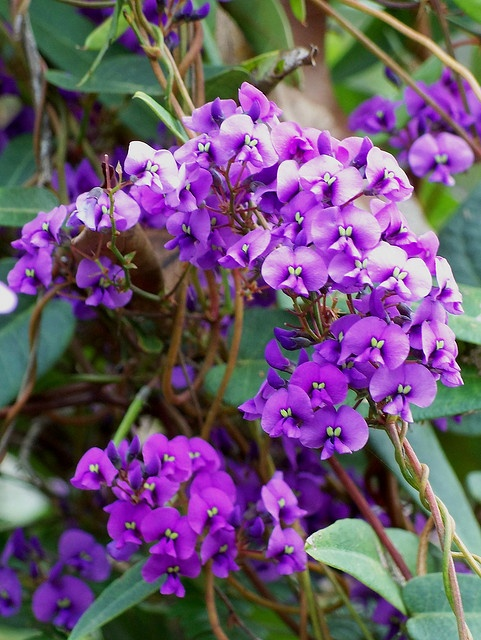 Happy Wanderer - Australian native part shade, flower full sun - fence or wall