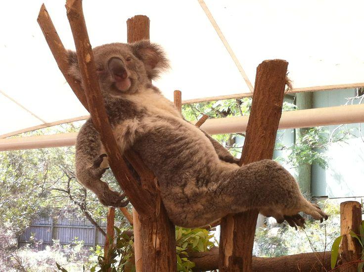 #Koala #Koalas #Australia
