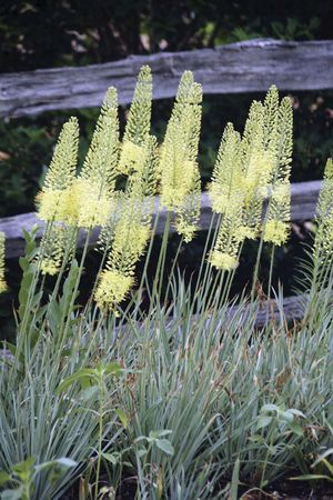 Eremurus 'Lemon Meringue' from Becky Bulbs. Good for my dry hillside? Maybe plant with globemaster as they have similar bloom time. Planted fall 2013.