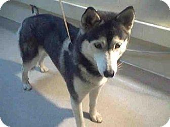 Pasadena, CA - Husky. Meet A368662, a dog for adoption. http://www.adoptapet.com/pet/11980930-pasadena-california-husky