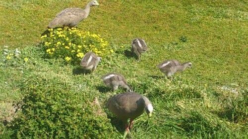 Cape baron geese on roadside