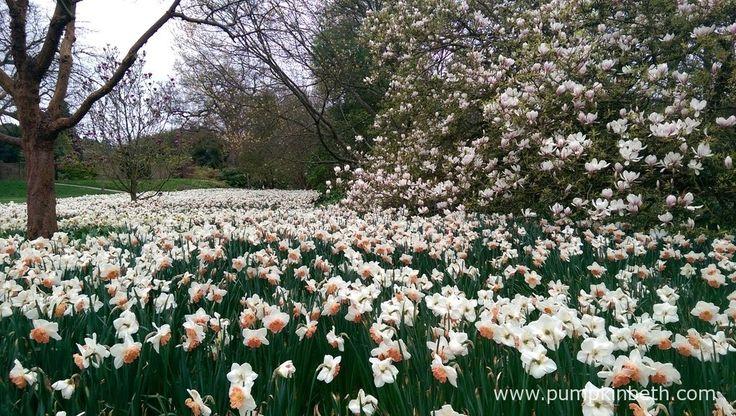 A sea of Daffodils at RHS Garden WIsley.