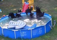 Una familia de osos se refresca en una piscina particular, ¡cómo se lo pasan!