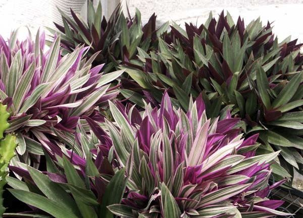 "Oyster Plant Dwarf Perennial - Part Sun - Size: 8"" t x 10"" w - Space: 10-15"" - Habit: Spreading - Water: Weekly during dry spells; more often until roots established - Hardiness 20 Degrees F http://www.south-florida-plant-guide.com/oyster-plant.html"