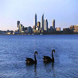 Black swans on the Swan River, Perth.