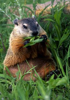Ground Hog,  Yeah! he didn't see his shadow today 2/2/13. means spring is near!