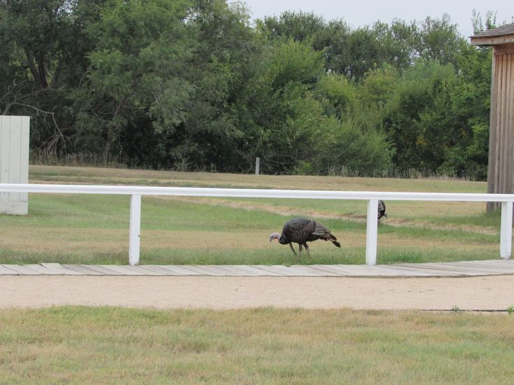 #discoverSFNHT Discover nature at Fort Larned National Historic Site -- turkeys