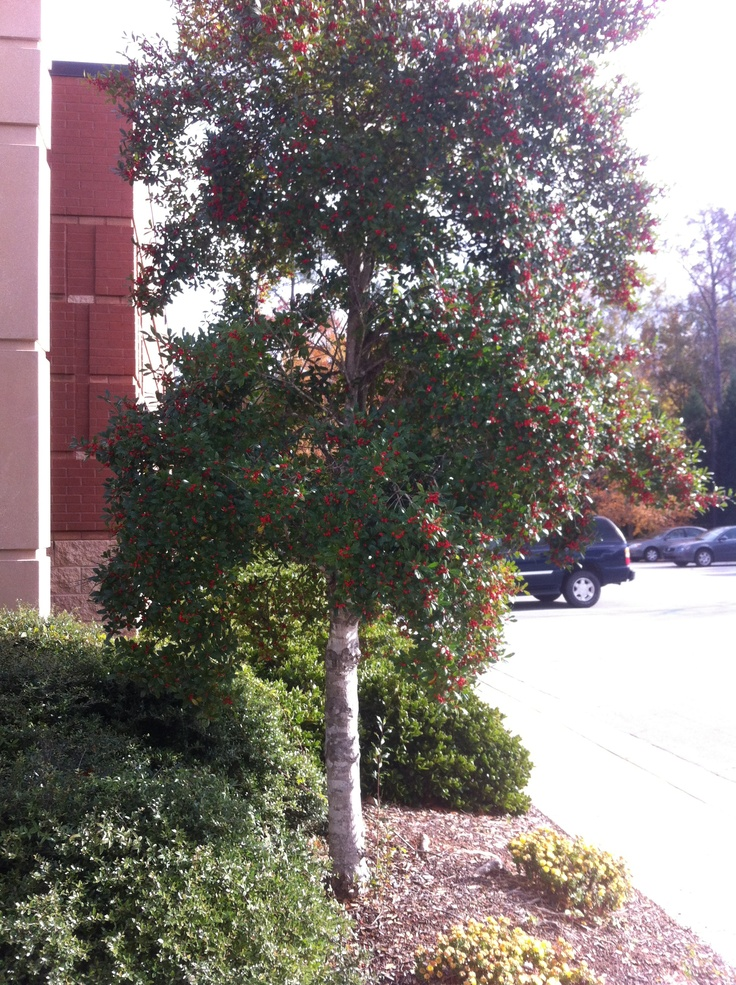 Nice Trees For Yards : Holly Tree, nice color  My Yard  Pinterest