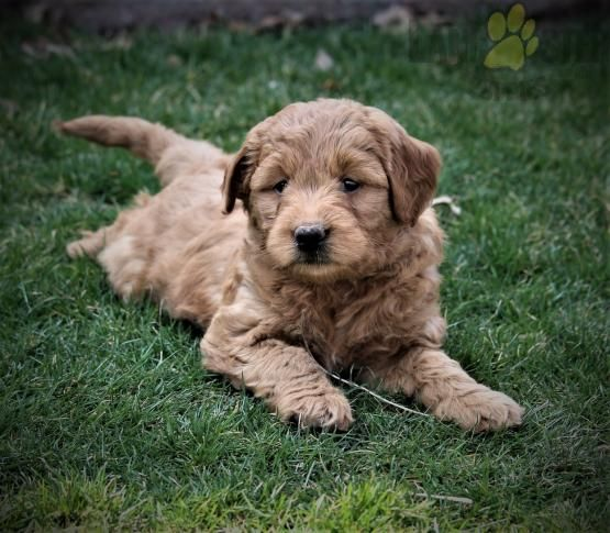 Mini Goldendoodle Minigoldendoodle Charming Puppiesofpinterest