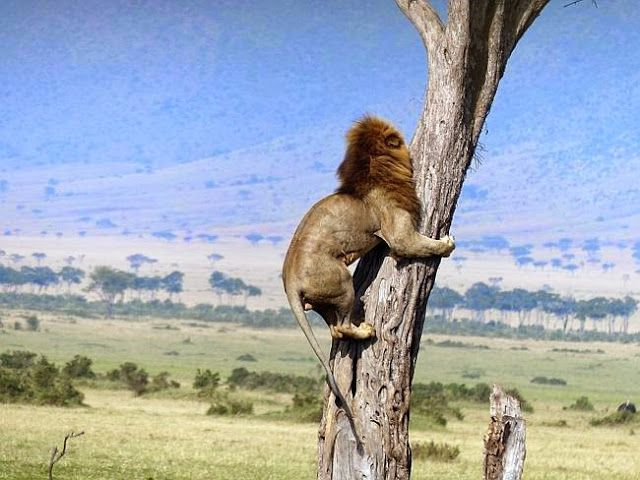 Lion climbs a tree to escape a herd of angry buffalo in Kenya More http://ow.ly/NraY8