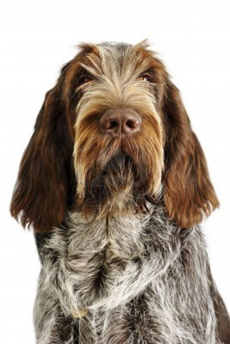 Image of italian spinone brown roan young puppy blue sitting cute - Spinone Italiano