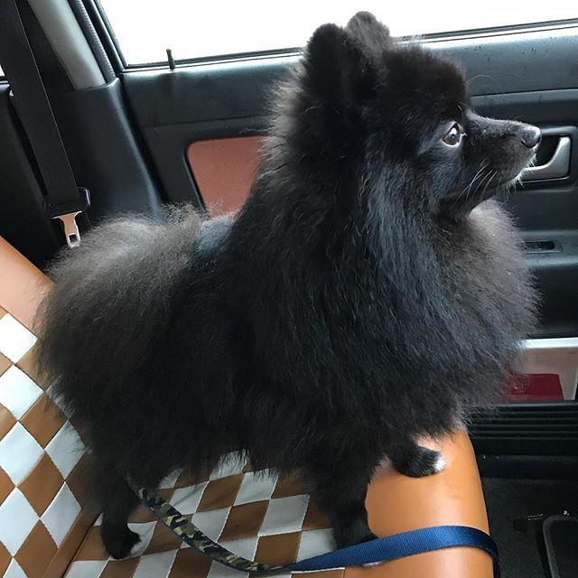 ワイパーが気になるらしい(`,ω,´) ポメラニアン黒ポメ 黒ポメラニアン ポメあかたん子犬 ポメスタグラム わんこ犬🐕  わんちゃん もふもふモフモフ
