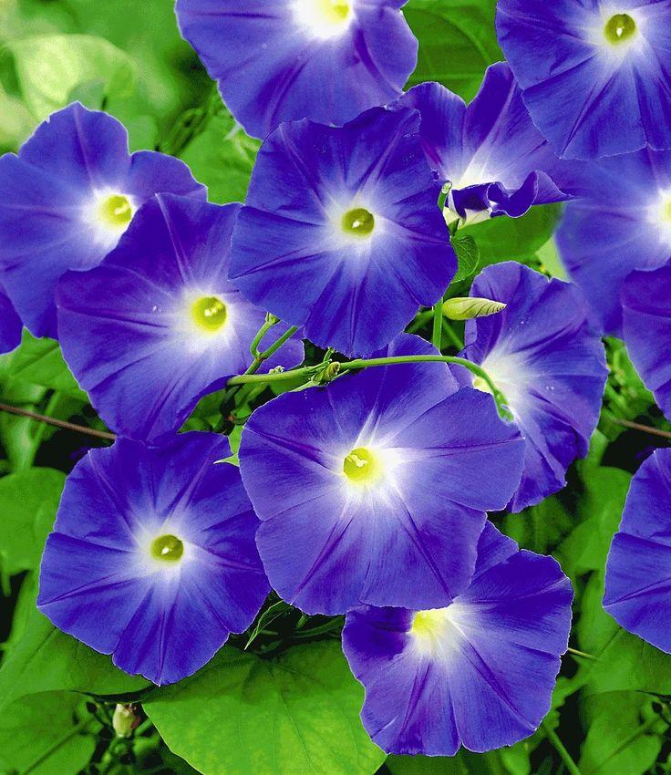 Trichterwinde 'Blue Hardy'