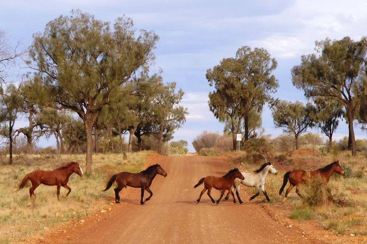 Brumbies...wild horses