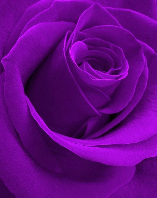 Purple Rose by MGhaznawi on Flickr.