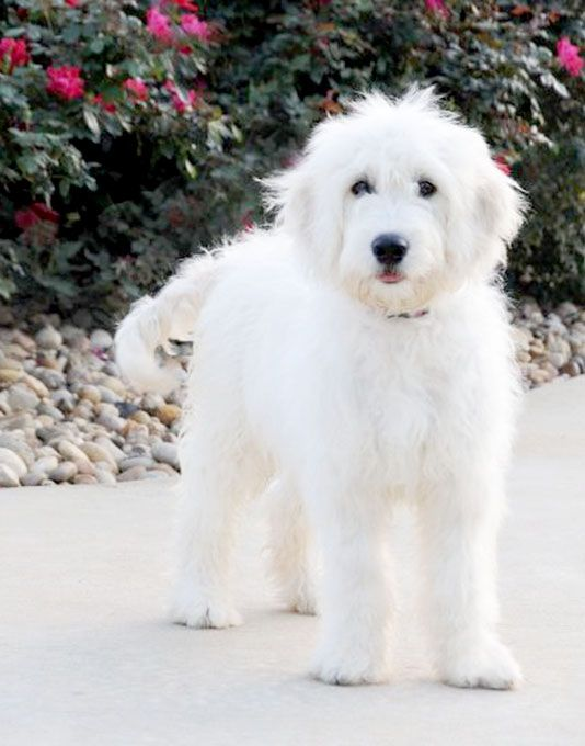 White Goldendoodles 33 best Animals images...