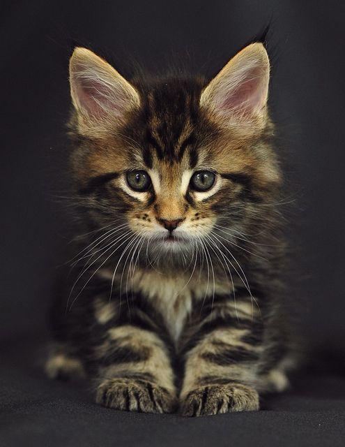 MaineCoon Kitten named Oracle, 6 weeks, via Flickr.