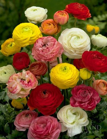 Our mixed ranunculus in shades of yellow, white, red, orange, cream and pink do well in summer garden beds and containers. These unique and elegant flowers are ideal for cutting and will brighten bouquets and centerpieces. A symbol of radiant charm.  *These bulbs will need at least 4-6 weeks of cool (evening 40-50° & daytime 60-75°) weather to sprout. If too warm, they will stay dormant. Can take 6-8 weeks to sprout.  Zones 4-7 plant in spring/ Zones 8-11 plant in fall.